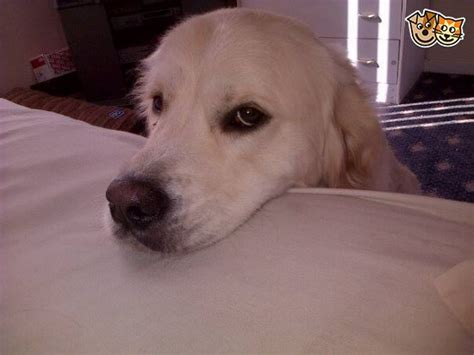 golden retriever puppies for sale glasgow free to home glasgow lanarkshire pets4homes