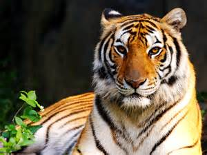 tiger colors colors of nature tiger hd wallpapers hd wallpapers