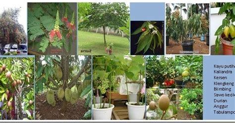 Pohon Sikat Botol Bunga Merah Pohon Hias Berdaun Wangi kebun dan agroforestry berkebun