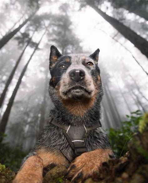 blue heeler puppies ohio 17 best ideas about cattle dogs on australian cattle names for