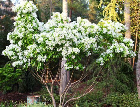 fragrant trees with white flowers the graceful gardener 187 the awakening of my fringe tree