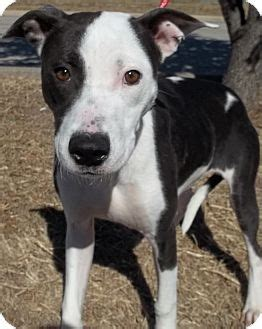 pitbull border collie mix puppy brody adopted lancaster tx pit bull terrier border collie mix