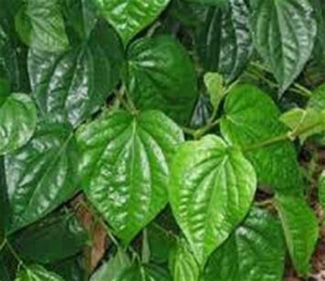Bibit Pohon Zaytun Bidara Dan Tin Sepaket 3 Pohon gambar berbagai khasiat daun bidara salah satunya bisa manfaat gambar widoro di rebanas rebanas