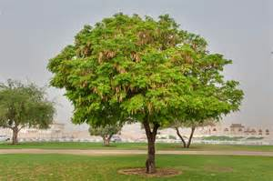 tree at the photo 1587 20 albizia lebbeck tree with fruits in aspire