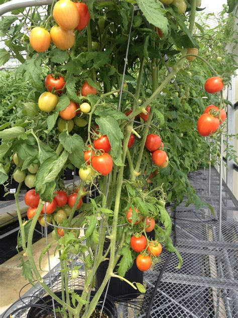 Garden Taste by Taste Back Into Tomatoes Food Quality Safety