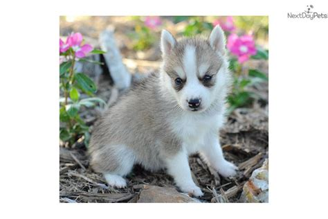 alaskan klee puppies for sale puppies available year alaskan klee for sale breeds picture