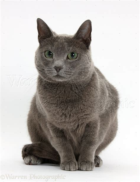 Russian Blue female cat with green eyes photo WP35969