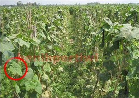 Benih Pare Pertiwi penyakit kriting kuning pada gambas benih pertiwi