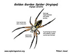 Garden Spider Diagram Spider Golden Garden Or Argiope