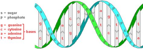 section of dna biological basis of heredity molecular level of genetics