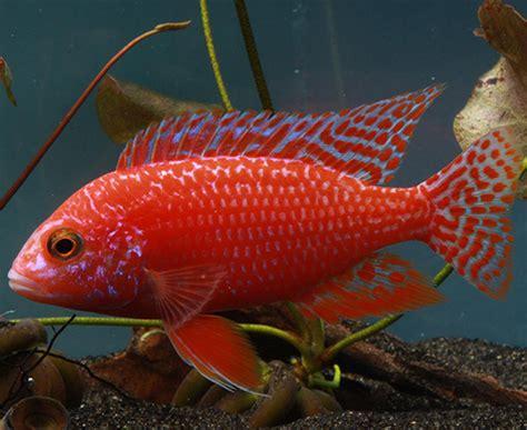 Best Plants For Tropical Aquarium - dragon blood peacock cichlid aulonocara sp quot firefish quot imperial tropicals