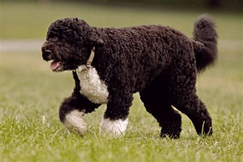 portugese water dogs that don t shed 23 hypoallergenic breeds