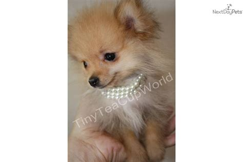 tiniest tiny micro teacup pomeranian puppy pin tiniest micro teacup pomeranian fits in your only 14 oz on