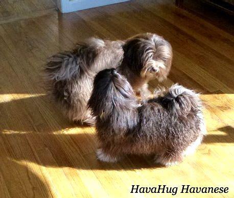 chocolate havanese breeders 17 best ideas about havanese puppies on havanese puppies for sale coton