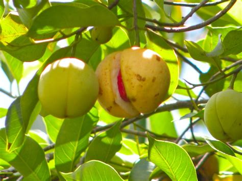 yellow fruit on tree nugmet mace myristica fragrans the seed is called