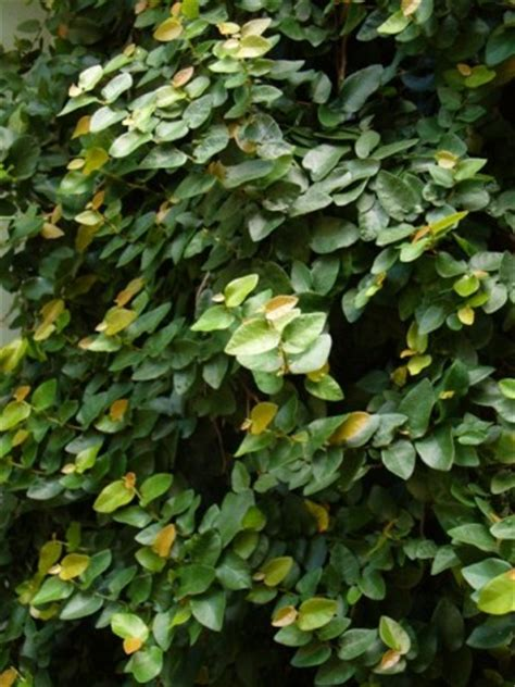 climbing fig plant climbing fig vine creeping fig indoor plants almost