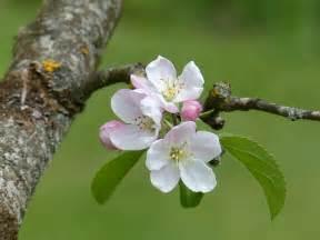 fleur de pommier milverton18
