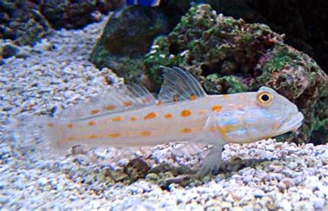 aquaticlog stock by clc2112 added watchman goby