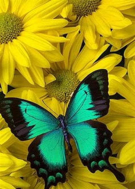 Kemeja Black Floral 5424 8 best blue images on color blue blue butterfly and butterflies