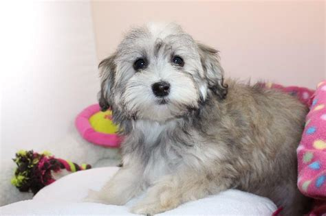 havanese nursery welcome to our nursery havanese havanese puppies for sale rachael edwards