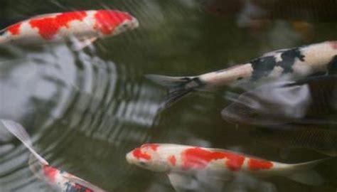 sucker fish  clean koi ponds animals momme