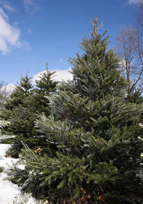best christmas tree farm applehill prices new fir varieties sprout on tree farms and lots this season msutoday michigan