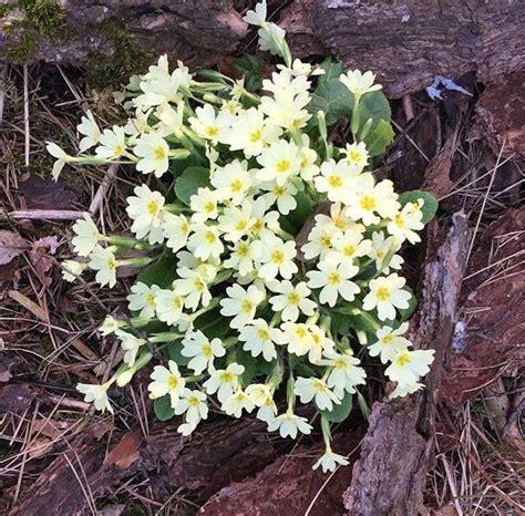 nomi fiori primaverili 3 fiori primaverili sbocciano nei boschi di montagna
