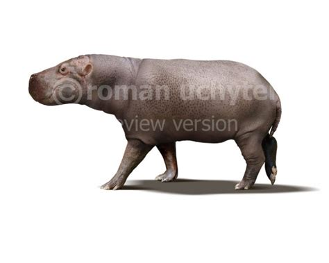 Hippopotamus In White Background hippopotamus minor white background