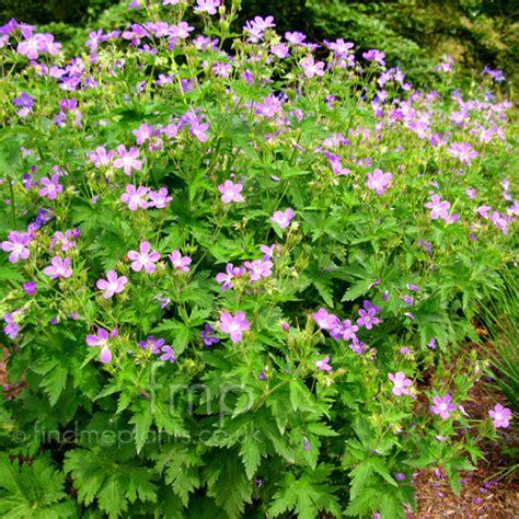 a big photo of geranium from findmeplants