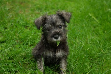 local puppies for sale dogs for sale puppies for sale from local breeders