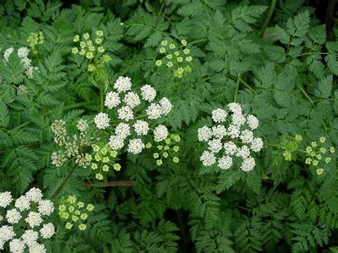 poison hemlock plant pictures meanings of poison