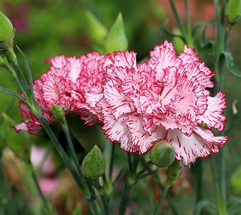 facts about carnations dianthus caryophyllus health effects and herbal facts