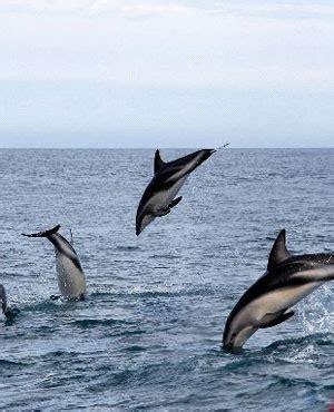 how do dusky boats ride animal facts dusky dolphin