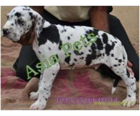 cheap great dane puppies for sale harlequin great dane puppy for sale in vizag low price 60 harlequin great dane puppy