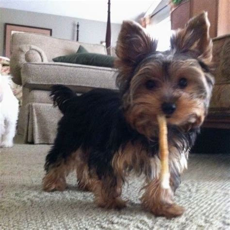 teacup yorkie boy names 1792 best yorkies images on yorkies animals and puppies