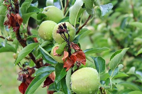 copper spray fruit trees uk diseases of fruit crops ornamentals untangling the