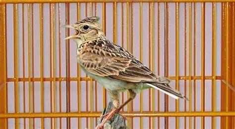 Pakan Branjangan Gacor cara merawat burung branjangan karakteristik dan habitatnya