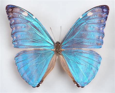 Butterfly Blue one real butterfly blue morpho adonis wings closed
