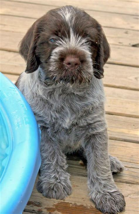 wire haired griffon puppy 25 best ideas about wirehaired pointing griffon on german wirehaired
