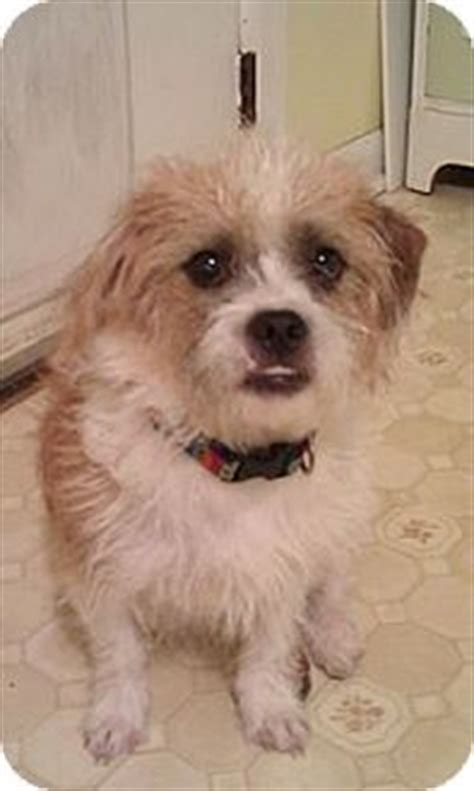 cairn shih tzu mix lisbon ia cairn terrier shih tzu mix meet bruno a for adoption