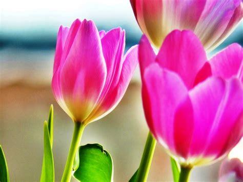 wallpaper bunga tulip pink smp nuraida islamic boarding school