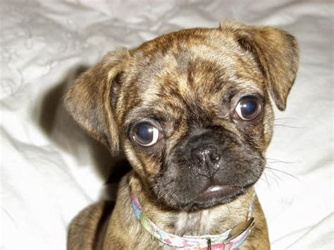 pug terrier mix 15 pug cross breeds you ve got to see to believe