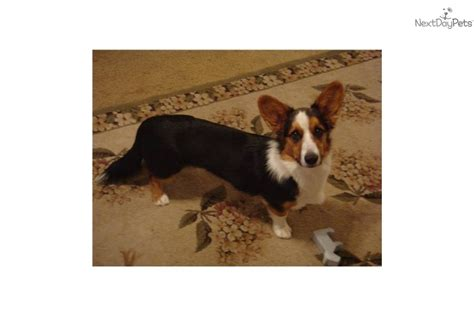 corgi puppies for sale san antonio cardigan corgi for sale in sweater jacket