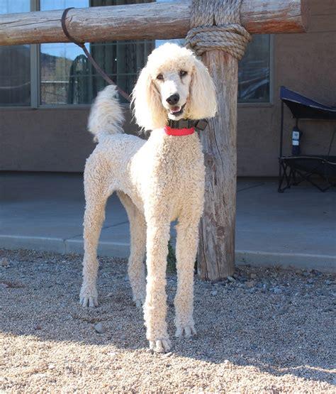 poodle lifespan standard springer clan standard poodles