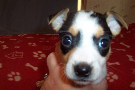 rat terrier puppies for adoption rat terrier puppies for sale adoption from burt michigan saginaw adpost