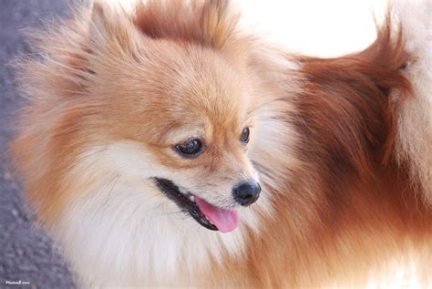 pic of pomeranian pomeranian photos pictures pomeranians page 2 breeds picture