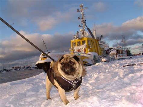 pug titanic pug posing on a background the frozen ship gifts for pug