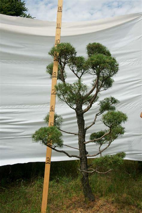scotch pine topiary 187 scotch pine topiary tree 127 plants beautiful nursery