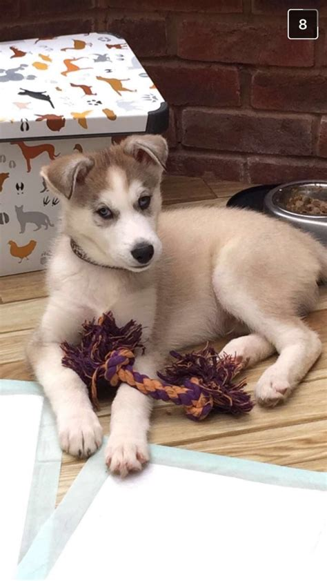 10 week puppy 10 week puppy for sale ready for new home solihull west midlands pets4homes