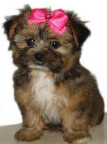 pomeranian puppies yokies shih tzu 24 pictures of shih tzu yorkie mix a k a shorkie and